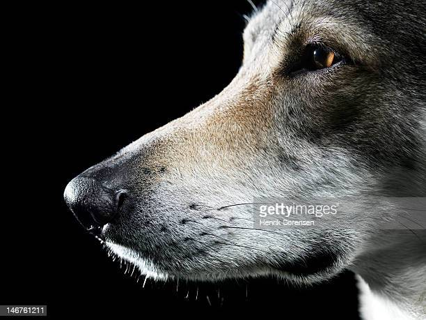 close up of wolf in profile