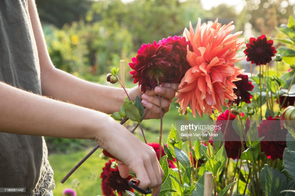 Close up of woman cutting dahlia flowers at allotment. : Stock Photo