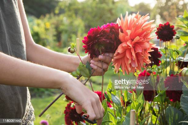 close up of woman cutting dahlia flowers at allotment. - flower stock pictures, royalty-free photos & images