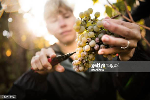 close up of woman cutting grapes from vine in vineyard - heshphoto photos et images de collection