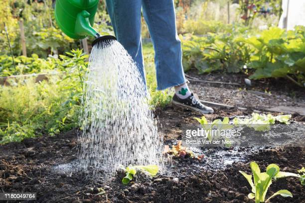 close up of woman watering newly planted vegetables with watering can. - vegetable stock pictures, royalty-free photos & images