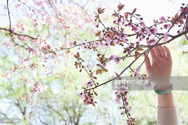 Close up of woman's hand touching a branch with pink cherry blossoms in a park in the springtime