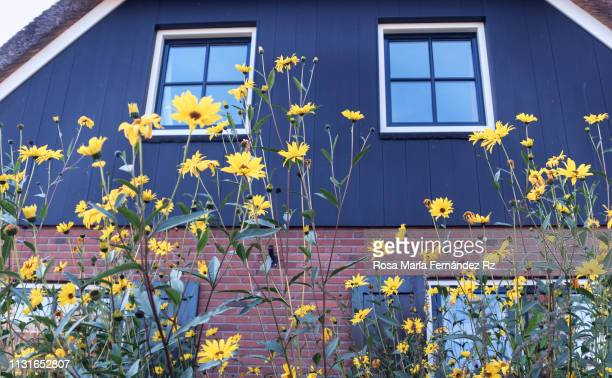 close- up of wooden facade with yellow wildflowers in foreground. - giethoorn stock pictures, royalty-free photos & images