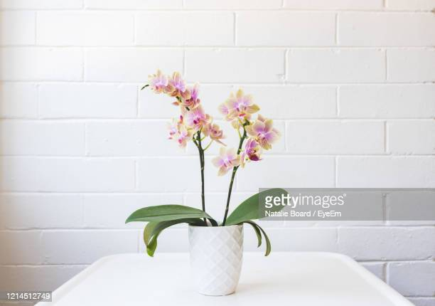 close up of yellow and purple phalaenopsis orchid in white pot on table against painted brick wall - ラン ストックフォトと画像