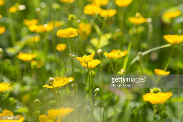 close up of yellow buttercups - buttercup stock pictures, royalty-free photos & images