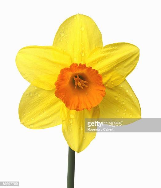 Close up of yellow daffodil with orange trumpet