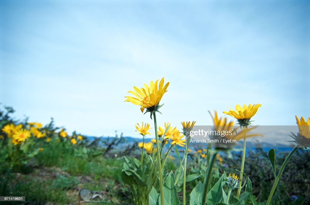 Close Up Of Yellow Flower Blooming In Field : Stock Photo