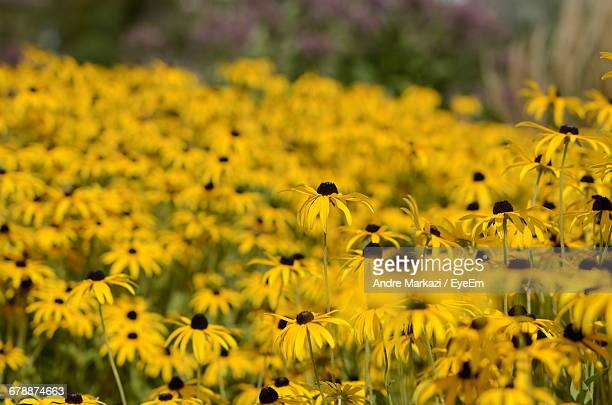 Close Up Of Yellow Flowers Blooming In Field
