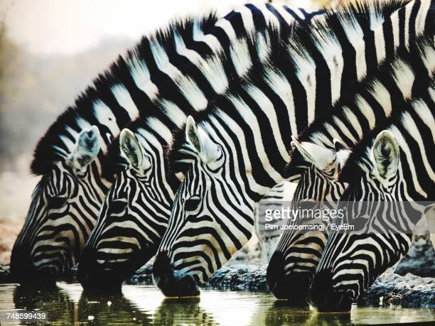 Close Up Of Zebras