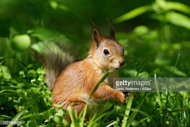 close up ofeurasian red squirrel (sciurus vulgaris) - eurasian red squirrel stock pictures, royalty-free photos & images