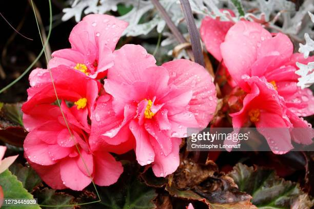 close up on a begonia - begonia stock pictures, royalty-free photos & images