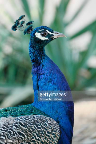 close up on a blue peacock (pavo critatus). - tropical bird stock pictures, royalty-free photos & images