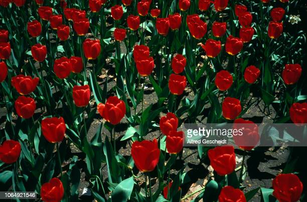 A close up on a field of red tulips US 1993