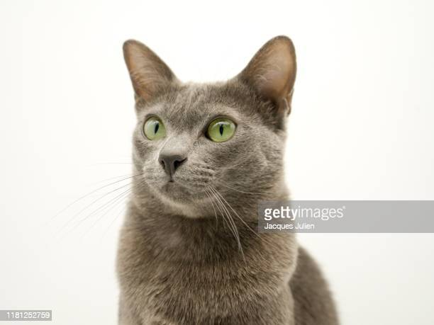 close up on a purebred korat cat on white background - russian blue cat stock pictures, royalty-free photos & images