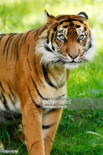 close up on a sumatra tiger - sumatran tiger stock pictures, royalty-free photos & images