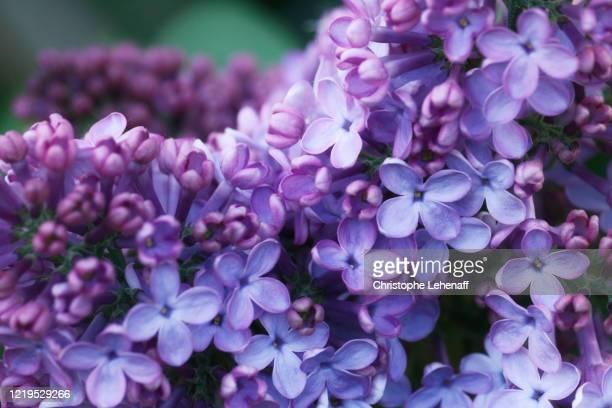 close up on lilac in a garden - ライラック ストックフォトと画像