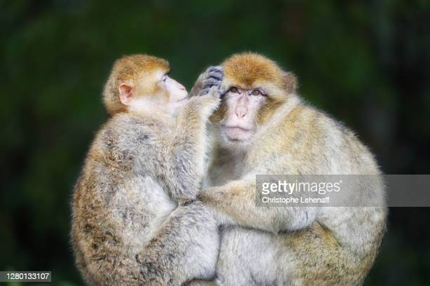 close up on magot monkeys cleaning themselves - バーバリーマカク ストックフォトと画像