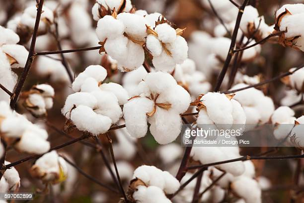 close up on part of a cotton plant loaded with open bolls, harvest stage - katoenbol stockfoto's en -beelden