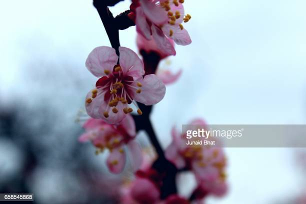 close up on pink cheery tree and plum tree - kashmir valley stock photos and pictures