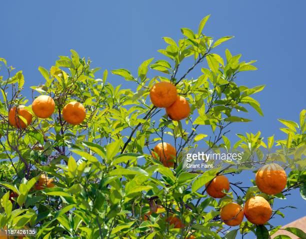 close up orange tree. - 果樹園 ストックフォトと画像