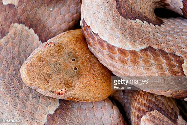 close up overhead view of a copperhead - copperhead snake stock pictures, royalty-free photos & images