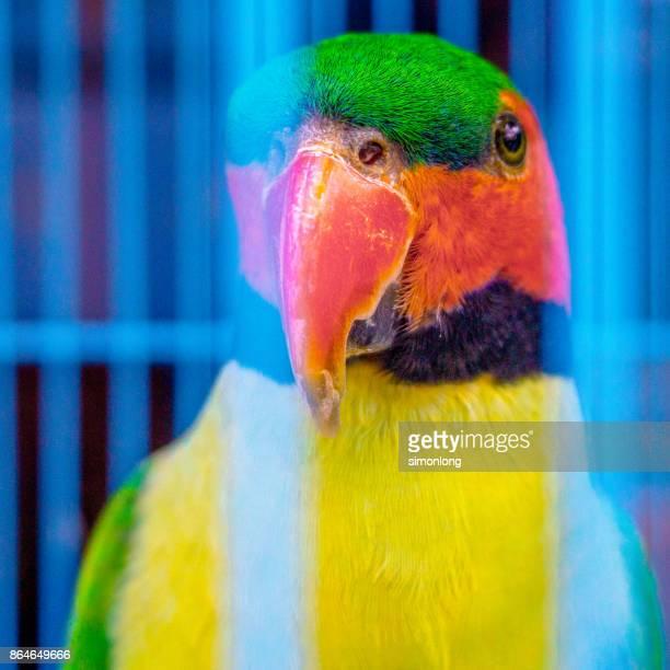 Close up Parakeets in a cage at bird market, Yogyakarta