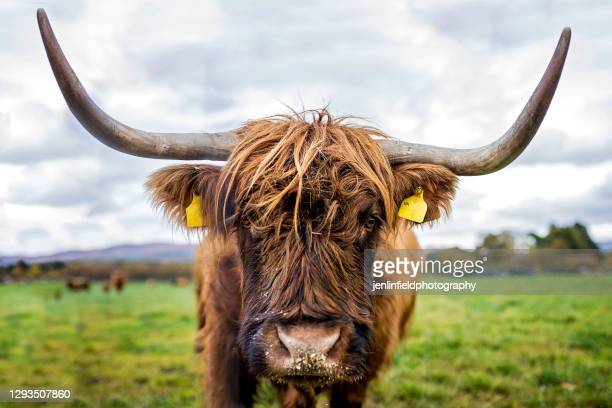 close up photograph of scottish highland cow in field - beef stock pictures, royalty-free photos & images