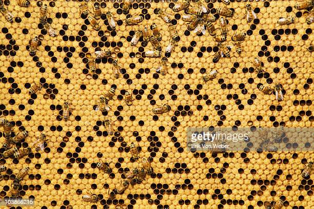 close up photos of honey bees from a man made hive