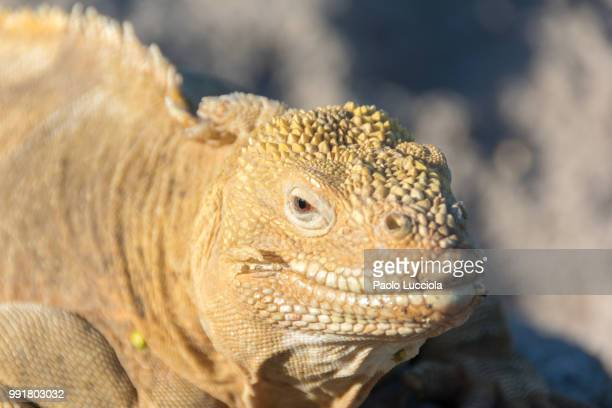 close up - land iguana stock photos and pictures