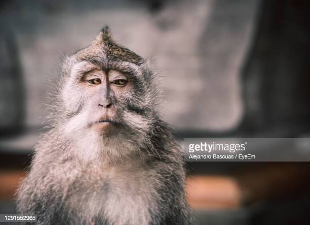 a close up picture of a balinese monkey with a serious face that looks like a meme. - meme stock pictures, royalty-free photos & images