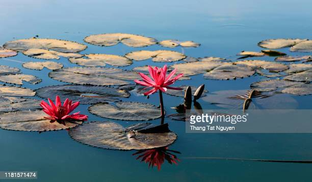close up pink color fresh lotus blossom or water lily flower blooming on pond background - organismo acuático fotografías e imágenes de stock