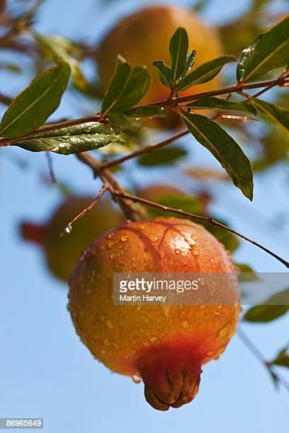 close up pomegranate on tree. - fruit exotique photos et images de collection
