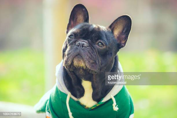 close up portrait of a cute french bulldog during a sunny day - bulldog frances imagens e fotografias de stock