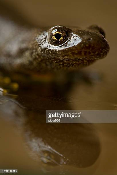 Close up Portrait of a Great Crested Newt