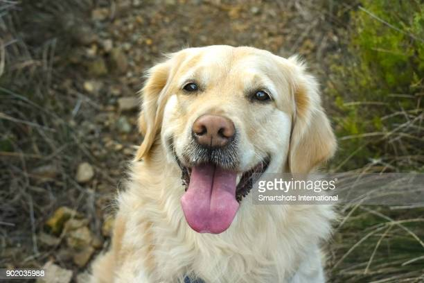 Close up portrait of a happy female Golden Retriever looking at camera