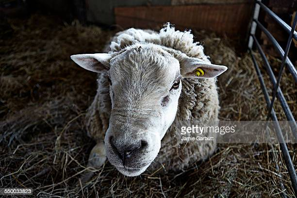 close up portrait of a large ram laying in hay - animal head stock pictures, royalty-free photos & images