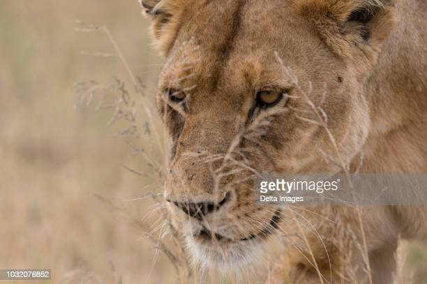 close up portrait of a lioness (panthera leo) walking, seronera, serengeti national park, tanzania - acechar fotografías e imágenes de stock