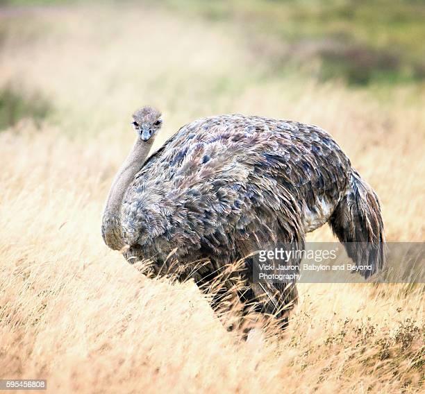Close Up Portrait of a Masai (Eastern Africa) Ostrich