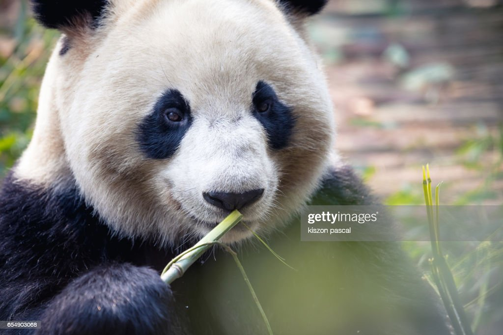 close up portrait of a Panda in Chengdu , China , Sichuan : Stock Photo
