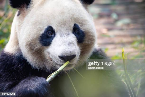 close up portrait of a panda in chengdu , china , sichuan - panda animal stock photos and pictures