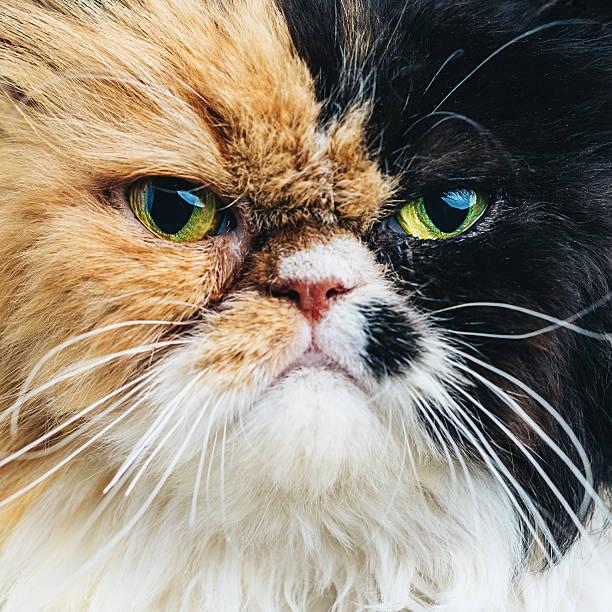 Close Up Portrait of a Persian Cat