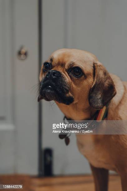 close up portrait of a puggle with a rainbow heart on the collar, selective focus. - puggle stockfoto's en -beelden