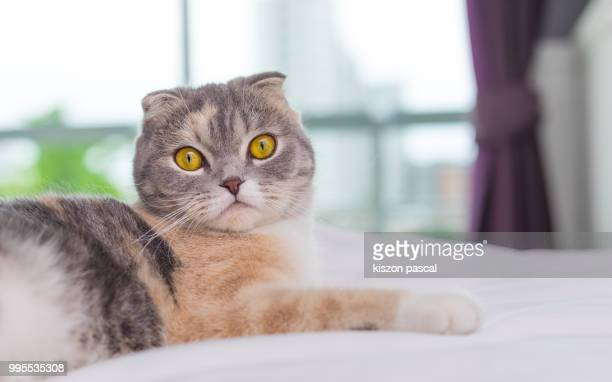 60 Top Scottish Fold Cat Pictures, Photos and Images - Getty