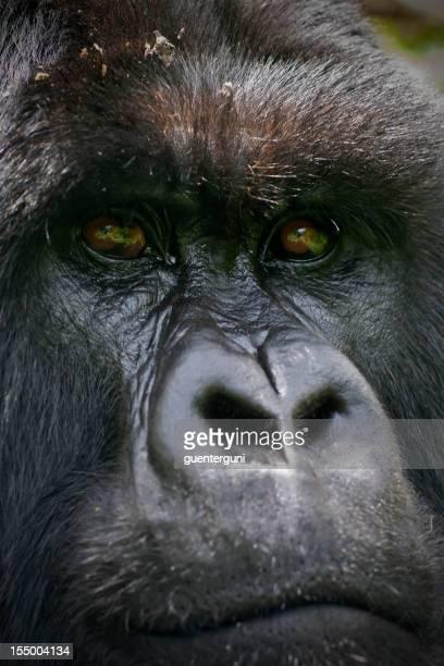 Close Up Portrait of a Silverback Gorilla in Rwanda