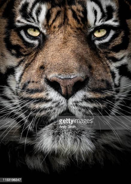close up portrait of a tiger - especies amenazadas fotografías e imágenes de stock
