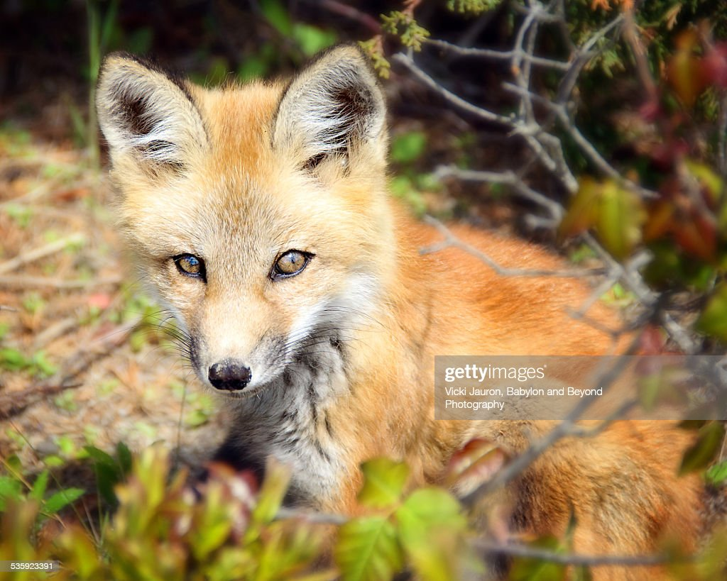 Close up portrait of a young fox kit : Stock Photo