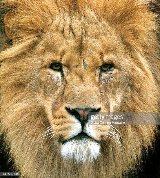 Close up portrait of an African lion at the Wildlife Heritage Foundation near Ashford in Kent on December 23 2008