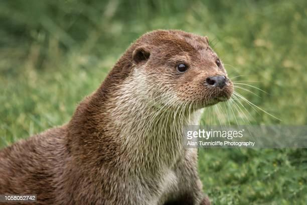 close up portrait of an otter. - lontra imagens e fotografias de stock
