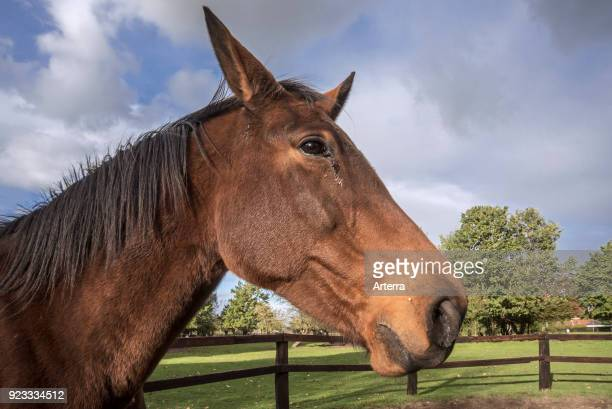 Close up portrait of Belgian Warmblood horse outdoors in field within wooden enclosure.