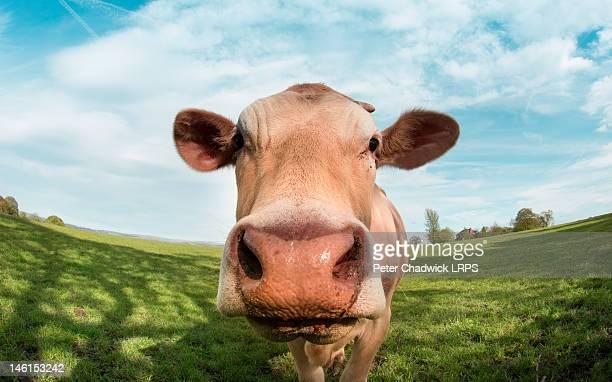 Close up portrait of cow